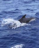 кит моря сини свободный среднеземноморской открытый пилотный Стоковое фото RF