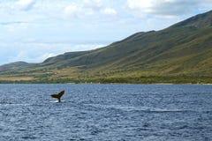 Кит наблюдая на Мауи Стоковое Изображение RF