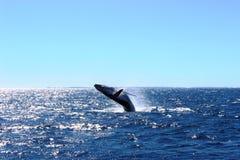 Кит наблюдая побережье Австралии Fraser Стоковое Изображение RF