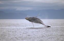 кит пролома Стоковая Фотография RF