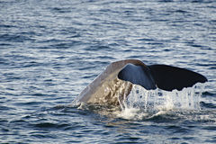кит спермы Стоковые Фото
