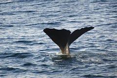 кит спермы Стоковые Фотографии RF