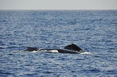 Кит с его младенцем кита в Индийском океане Стоковые Фотографии RF