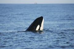 кит убийцы наблюдая Стоковое Изображение RF