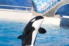 кит убийцы поступка содружественный Стоковая Фотография