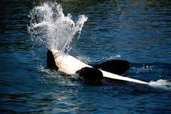 кит убийцы Стоковое Фото