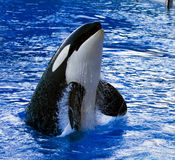 кит убийцы Стоковая Фотография