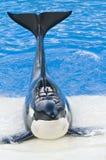 кит убийцы Стоковое фото RF
