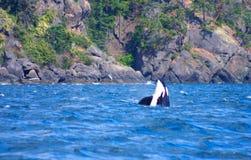 кит убийцы Стоковые Фото