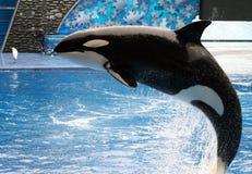 кит убийцы стоковые фотографии rf