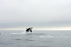 кит убийцы Стоковые Изображения