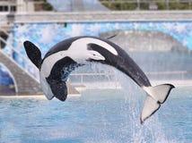 кит убийцы Стоковое Изображение