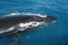 кит Стоковая Фотография