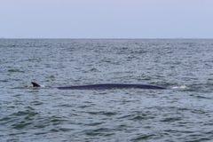 Кит Bryde в Gulf of Thailand Стоковые Фото