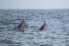 Кит Bryde в Gulf of Thailand Стоковое фото RF