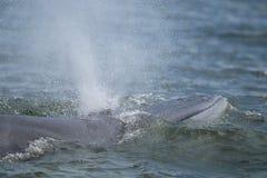 Кит Bryde, кит Eden в Gulf of Thailand Стоковое фото RF