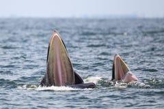 Кит Bryde, кит Eden есть рыб в заливе Стоковая Фотография