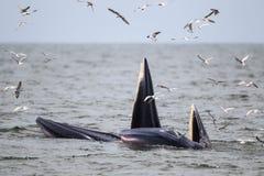 Кит Bryde, кит Eden есть рыб в заливе Стоковое фото RF