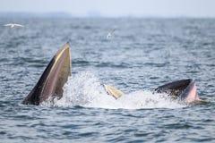 Кит Bryde, кит Eden есть рыб в заливе Стоковое Изображение RF