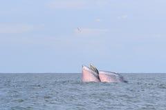 Кит Bryde, кит Eden есть рыб в заливе Стоковое Изображение