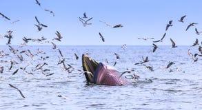 Кит Bryde, кит Eden есть рыб Стоковые Изображения RF