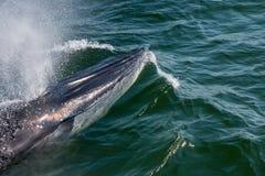 Кит Bryde младенца быстро плавает к поверхности воды для того чтобы выделить b Стоковое Изображение RF