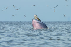 Кит Bryde скачет от воды Стоковые Изображения RF