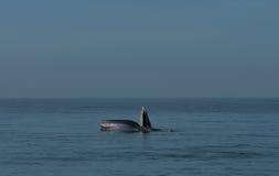 кит bryde s Стоковая Фотография