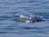 кит bryde s Стоковое Изображение