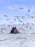 кит bryde s Стоковые Изображения