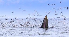 кит bryde s Стоковые Изображения RF