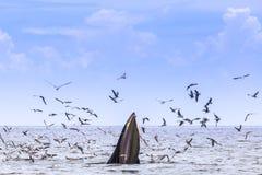 кит bryde s Стоковые Фотографии RF