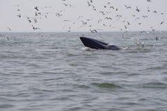 кит bryde s Стоковое Изображение RF