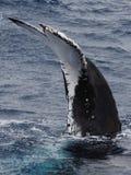 кит humpback двуустки Стоковое Изображение RF
