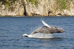 кит humpback пролома полный Стоковая Фотография