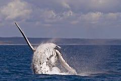 кит humpback пролома Стоковое Изображение