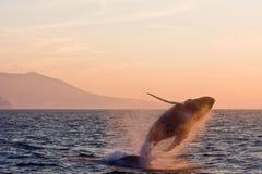 кит humpback скача Стоковая Фотография