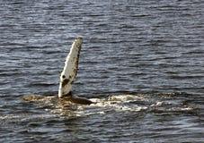 кит humpback флиппера Стоковая Фотография RF