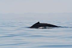 кит humpback Стоковое Изображение RF