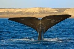 кит patagonia Аргентины правый Стоковое Фото