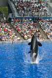 кит shamu убийцы Стоковое Изображение