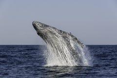 кит sw звука humpback frederick пролома Аляски Стоковые Изображения RF