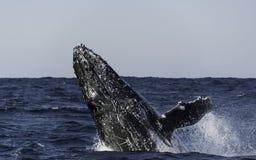 кит sw звука humpback frederick пролома Аляски Стоковое Изображение RF