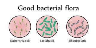 Кишечная флора бактерий Хорошая бактериальная флора также вектор иллюстрации притяжки corel бесплатная иллюстрация