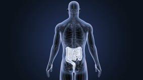 Кишечник с анатомией бесплатная иллюстрация