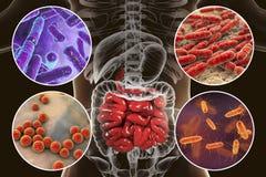 Кишечное microbiome, бактерии колонизируя тонкую кишку иллюстрация вектора