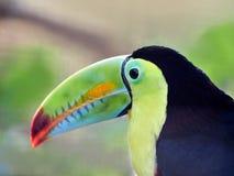 Кил-представленное счет toucan, также как сера-breasted или радуга Стоковое Фото