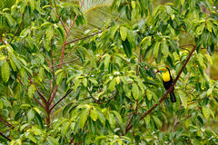 Кил-представленное счет Toucan, sulfuratus Ramphastos, птица с большим счетом Toucan сидя на ветви в лесе, Boca Tapada, зеленое v Стоковая Фотография RF