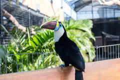 Кил-представленное счет Toucan, sulfuratus Ramphastos, птица с большим счетом Toucan сидя на ветви в парке острова Бали Стоковое фото RF