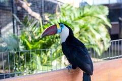Кил-представленное счет Toucan, sulfuratus Ramphastos, птица с большим счетом Toucan сидя на ветви в парке острова Бали Стоковые Фото